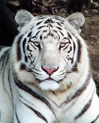 2010: the year of the white tiger | euphoria meets holy crap meets